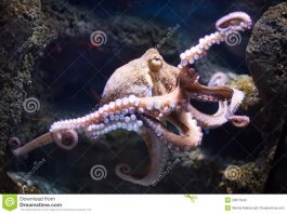 fakta-tentang-gurita